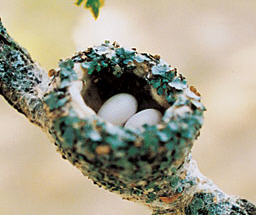 Hummingbird-Nest1