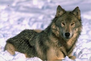 wolf-color-photo