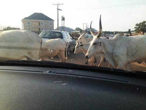Cows at school 3